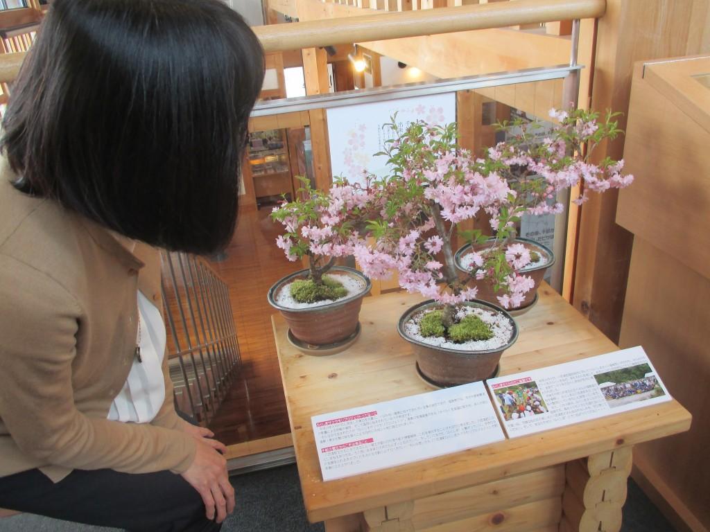 福島桜盆栽